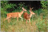 White-tailed Deer (Doe & Buck)