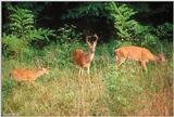 White-tailed Deer (Fawn, Doe & Buck)