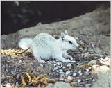 white California Ground Squirrel 90k jpg