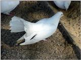 White Fantail Pigeons 2