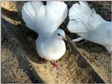 White Fantail Pigeons 3