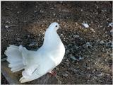 White Fantail Pigeons 4