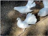 White Fantail Pigeons 5