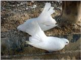 White Fantail Pigeons 6