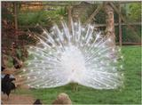 Another birdie from Kruezen Animal Park - White peacock bragging just a bit :-)