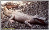 Att'n: Lodestar. Another white gator. - white Gator.jpg