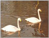 Re: picture of swans -- whooper swan (Cygnus cygnus)