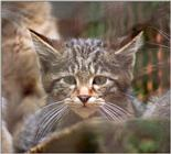 A shot that I didn't think would work - European wildcat kitten in Neumuenster Animal Park