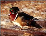 Wood Duck (Aix sponsa) male 2