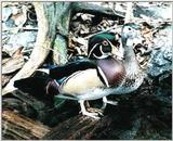 From the Tennessee Aquarium - wood duck pair.jpg - wood duck pair.jpg (0/1)