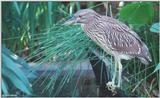 Yellow-Crowned Night Heron (immature) 1