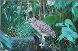 Yellow-Crowned Night Heron (immature) 2