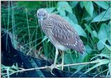 Juvenile Yellow-Crowned Night Heron 1