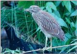 Juvenile Yellow-Crowned Night Heron 2