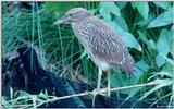 Juvenile Yellow-Crowned Night Heron 3