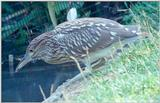 Juvenile Yellow-Crowned Night Heron 4