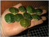 Yellow Belly Slider hatchlings