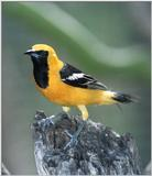 Is this an Oriole or..? -- Hooded Oriole, Icterus cucullatus