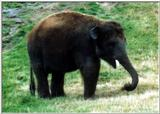 Re: Req pictures of elephants (Asian) - Young Elephant.jpg