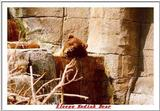 Indiapolis Zoo - Kodiak Bear