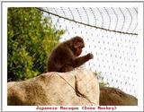 Indiapolis Zoo - Japanese Macaque (Snow Monkey)