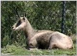 Animal flood! - chamois.jpg