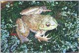 A few Bullfrogs 2