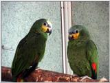 orange-winged Amazons (amazona amazonica)