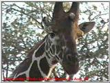 Reticulated Giraffe in Kenya