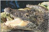 Cuban Crocodile#1 - Crocodylus rhombifer