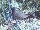 IDENTIFY this bird - aas50036.jpg -- brown noddy (Anous stolidus)