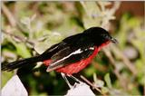 Crimson-breasted Gonolek, Laniarius atrococcineus