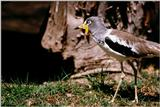 White-headed Plover or White-crowned Plover (Vanellus albiceps)