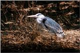 Identification needed for this heron - aay50084.jpg (1/1)