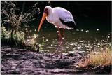 Yellow-billed Stork - aay50087.jpg [1/1]
