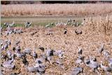 Identification needed - Hooded Cranes? with deers- aay50092.jpg (1/1)