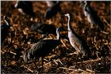 Identification needed - Hooded Cranes? - aay50097.jpg -- Sandhill Cranes