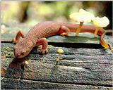 (Pls identify this) lizard 1 - adw50202.jpg - What is this newt?