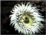 Sea Anenomae - Oregon Coast Aquarium - anen01.jpg