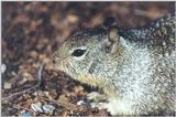Calif Ground Squirrel 112k jpg