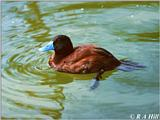 Argentine Ruddy Duck