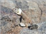 Calif Ground Squirrel aug15