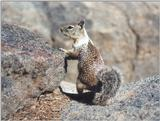 Calif Ground Squirrel aug16