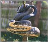 Adult Black Rat Snake in a Tree