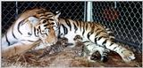 tiger newborns - babies.jpg (1/1)