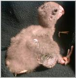 Brown Headed Parrot Chick