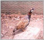 Game Bird: Black Francolin