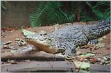 Cuban Crocodile - Crocodylus rhombifer
