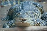 Cuban Crocodile 1 - Crocodylus rhombifer