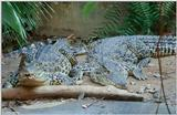 Cuban Crocodile 2 - Crocodylus rhombifer